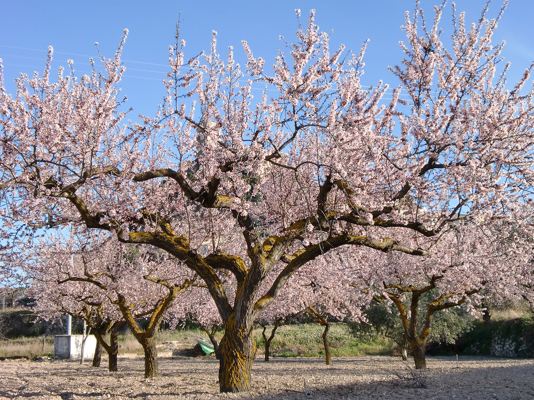 Almond trees in blossom 2